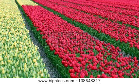 Spring Tulip Fields in Holland. Red and Yellow tulip field.