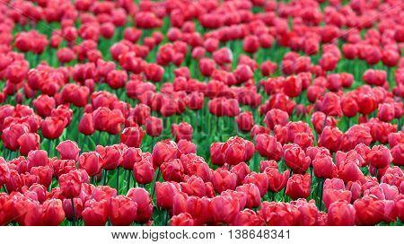 Tulip Flowers Growing in Field. Red tulip field in Holland.