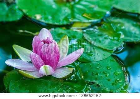 Beautiful pink waterlily or lotus flower in pond after rain