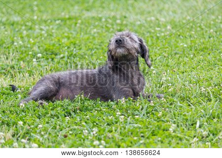 Gray shaggy dog lying on the grass. Pets