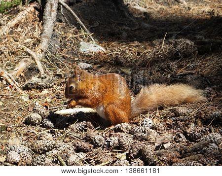Red Squirrel feeding amongst acorns in woodland