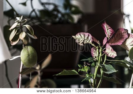 Pionsettia red leaves and green succulent plant
