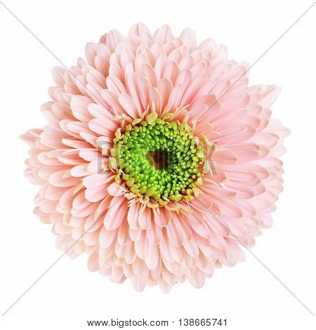 pink gerbera daisy flower, isolated on white background