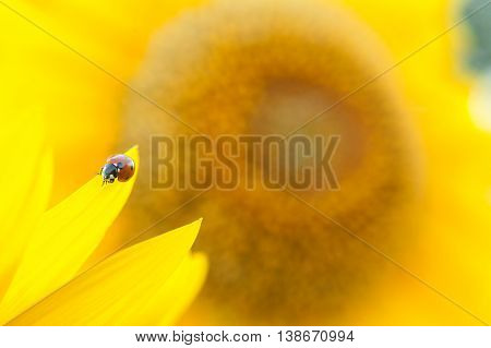 Sunflower close up. Bright yellow sunflowers. Sunflower background. Ladybug on a Sunflower. Ladybug close up.