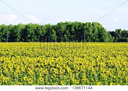 Field with yellow flowers of sunflowers, trees against the blue sky