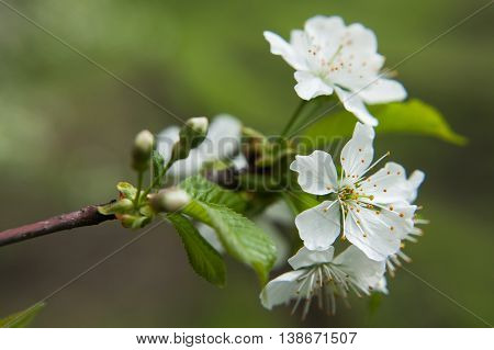 Spring blossoming of an apple-tree. Spring blossoming of cherry. The blossoming apple-tree. The blossoming cherry. The blossoming apricot. White flowers close up.