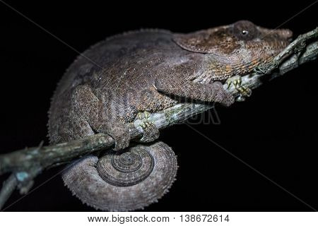 Close up shot of the nocturnal chameleon on the tree's branch in a forest. Madagascar