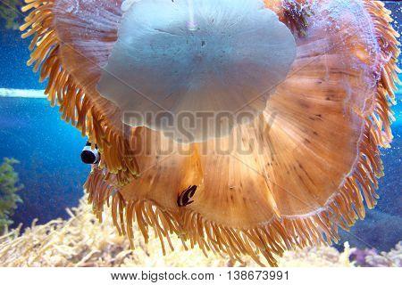 Marine animal Actiniaria in a large sea  aquarium