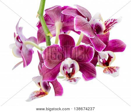 Blooming Twig Of Beautiful Dark In Shades Purple Orchid, Phalaenopsis Is Isolated On White Backgroun