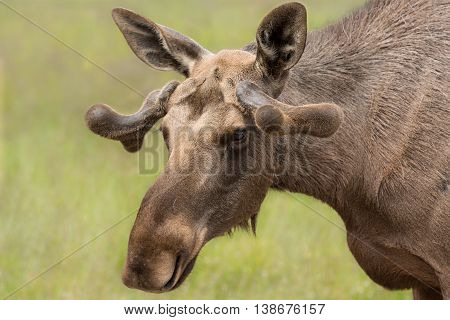 Young Bull Moose with small horns. About 2 years old