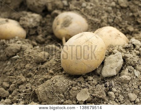 potatoes in a field - shallow depth of field