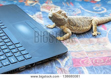 Closeup side view of Agama lizard lying on a sofa in front of a open laptop. Agama is looking at the camera. All potential trademarks are removed.