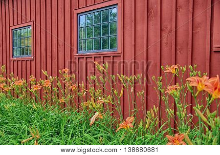Bright orange day lilies against a red building