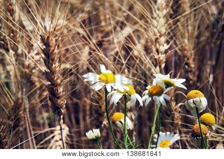 Daisy And The Ear Of Wheat