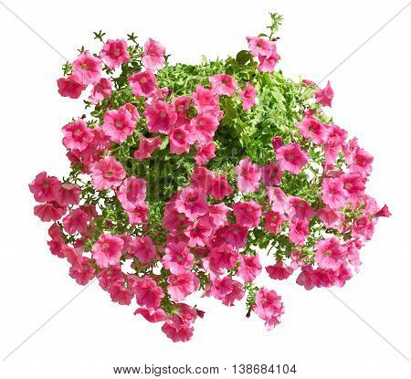 Hanging Pot With Pink Althea Flowers Isolated On White