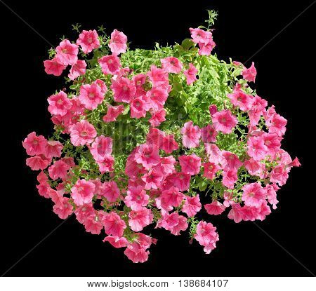 Hanging Pot With Pink Althea Flowers Isolated On Black