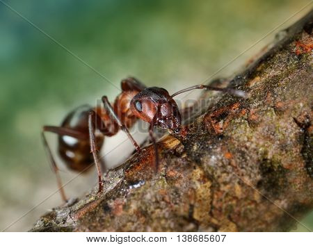 Red Ant Drinking Nectar On Twig