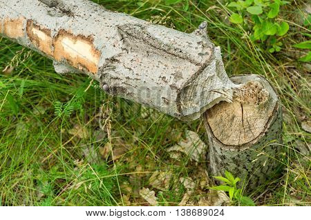 Tree felled by beavers near Montreal Canada