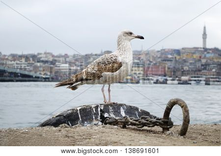 The seagulls Istanbul Istanbul and the Golden Horn sea views.
