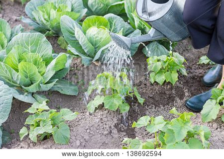 Watering cucumber and cabbage plants with a watering can. Woman taking care of plants in vegetable garden.