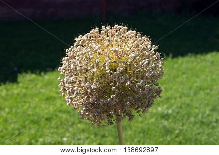 The giant ornamental onion (Allium giganteum) spring buds.