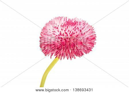 pink daisy marguerite isolated on white background