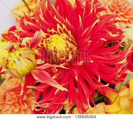 Fresh cut garden flowers, isolated red and yellow dahlias