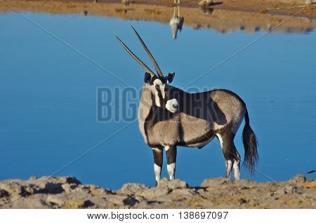Oryx standing near the waterhole, Etosha park, Namibia