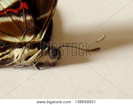 Head, antlers, and legs of a butterfly, partial view of brown wing with a red stripe