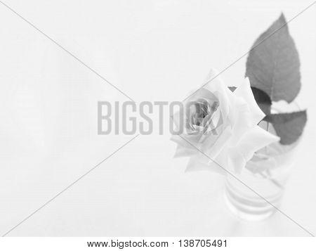 Beautiful rose of monotone on white background