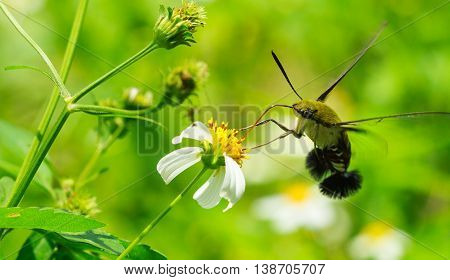 Hemaris fuciformis sphingidae moth, known as bee Hawk-moth, enjoying the nectar of a white and yellow flower. Hummingbird moth.