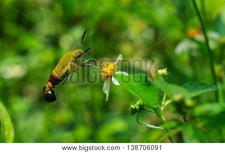 Sphingidae, known as bee Hawk-moth, enjoying the nectar of a white and yellow flower. Hummingbird moth.