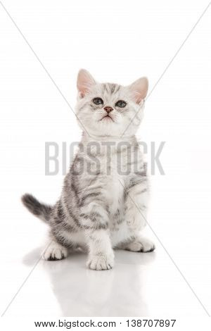 Cute American shorthair kitten playing on white background isolated