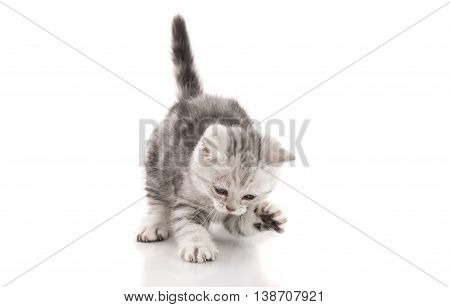 Cute American Shorthair kitten catching on white background isolated