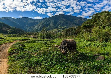 A buffalo in the idyllic green countryside of the Philippines