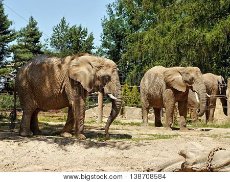 Elephants at the zoo in a beautiful sunny day.