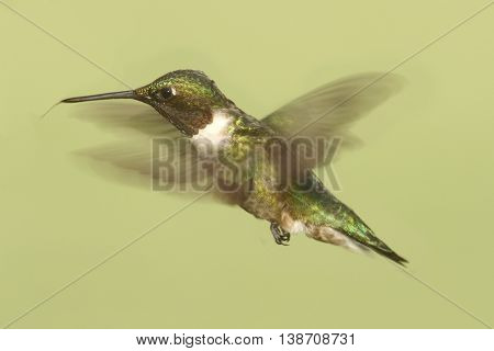 Male Ruby-throated Hummingbird (archilochus colubris) in flight colorful background