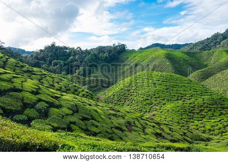 Green mountain of tea plantations with blue sky near Cameron Valley in Cameron Highlands Malaysia.