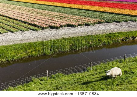 Sheep And Tulipfield In North Holland The Netherlands