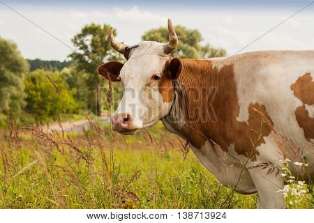 Red young cow with white spots on pasture in the village in summer time - ecological balance way of farming