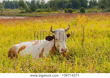Cute domestic cow lying in summer meadow near a yellow flower on background of forest. Concept of ecology, organic cattle farming and agriculture