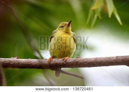 Wild animals are very cute. Bird young innocent Branches island retreat yellow Olive-backed Sunbird : Name.