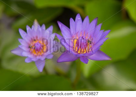 Beautiful purple lotus pond in the park. Background