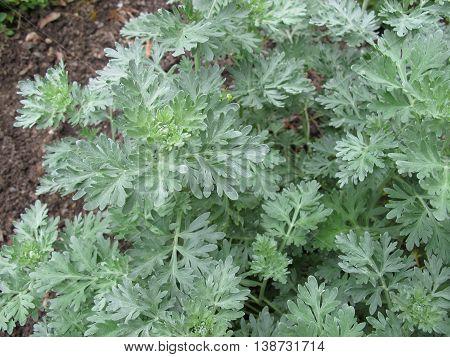 Absinthe wormwood, Artemisia absinthium, in herb garden