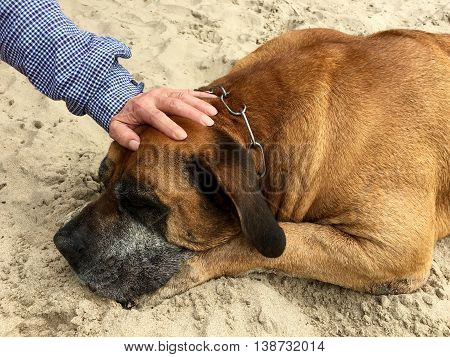 Boerboel, south african mastiff is sleeping on the sand