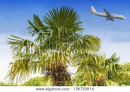 Large palm tree against a blue sky in the background a passenger plane during landing.