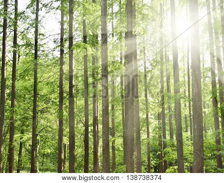 forest with sunbeam. Mixed forest in spring with smooth sunlight, fallen through the leaf canopy. Nature background, tranquil scene with no people.