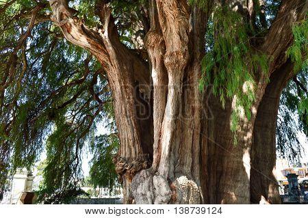 Arbol el Tule - one of the biggest trees on Earth in Chiapas Mexico