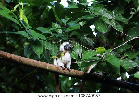 Cotton-Top Tamarin having a mouthful of food resting on a tree