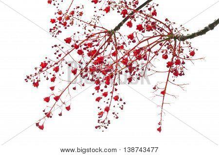Illawarra Flame Tree Flowers